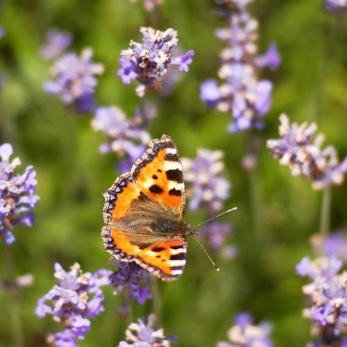 A orange butterfly on purple flowers