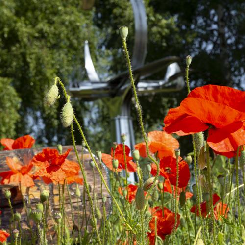 Poppies close up in front of Pegasus Bridge Memorial