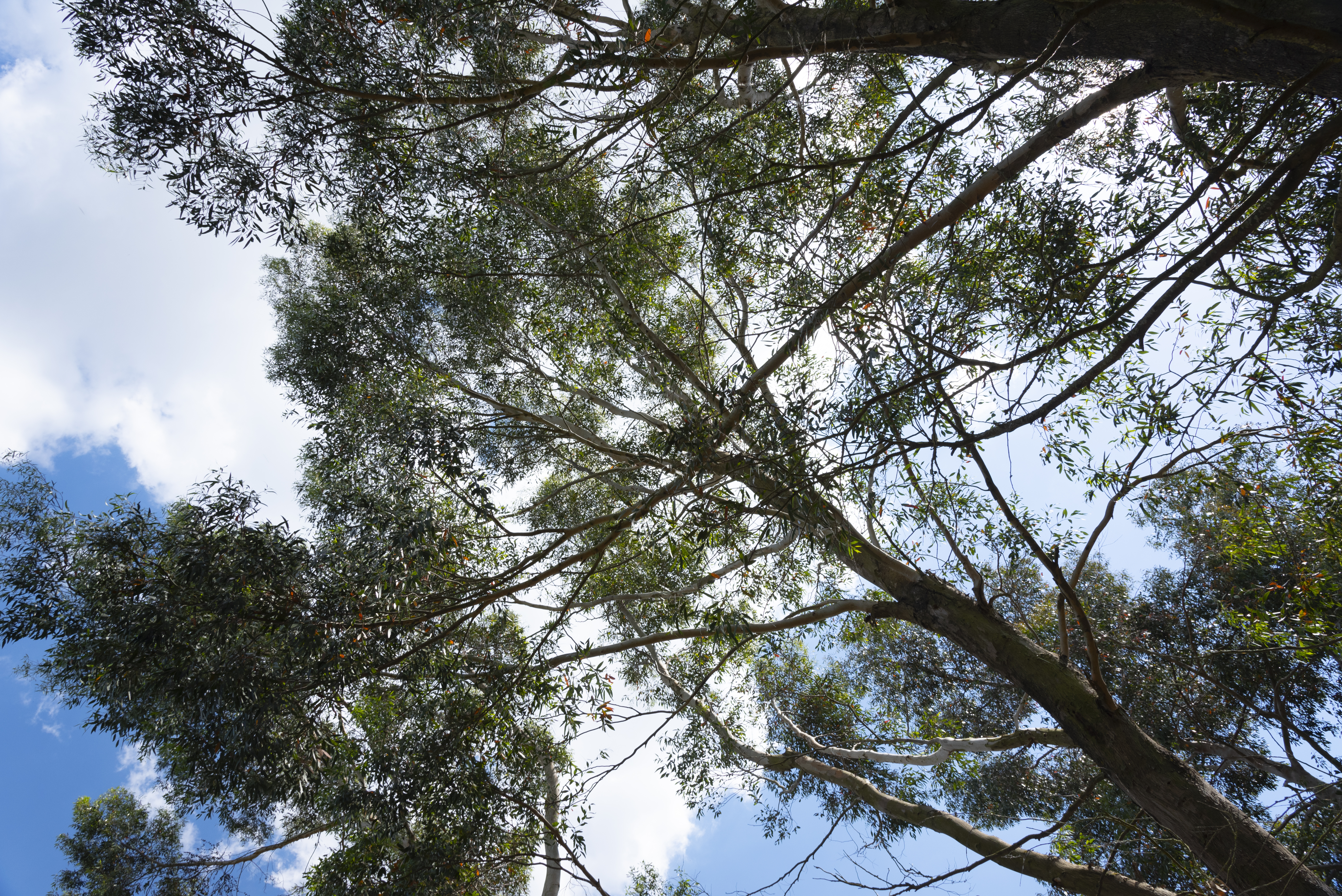 Tree Canopy From Below